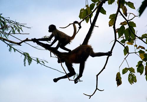 Ethologie et leadership : ce que les singes m'ont appris sur l'exercice du pouvoir